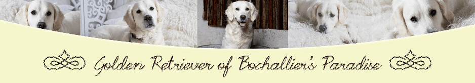 banner-golden-retriever-zucht